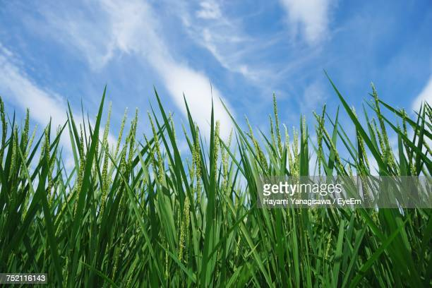 Low Angle View Of Fresh Green Field Against Sky