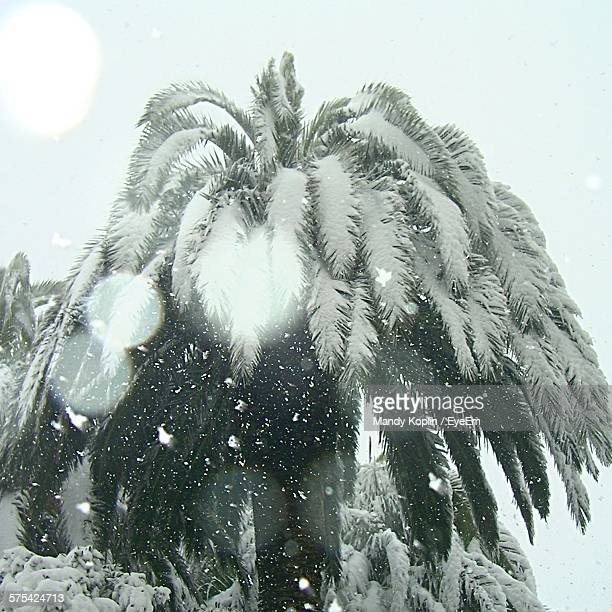 Low Angle View Of Frozen Palm Trees During Winter