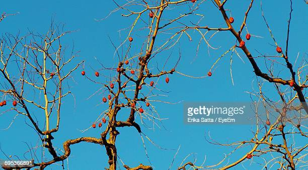 Low Angle View Of Fruits On Bare Tree Against Clear Blue Sky