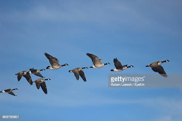 Low Angle View Of Geese Flying Against Blue Sky