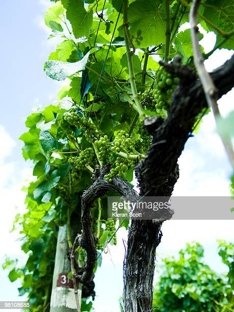 Low angle view of grapevines