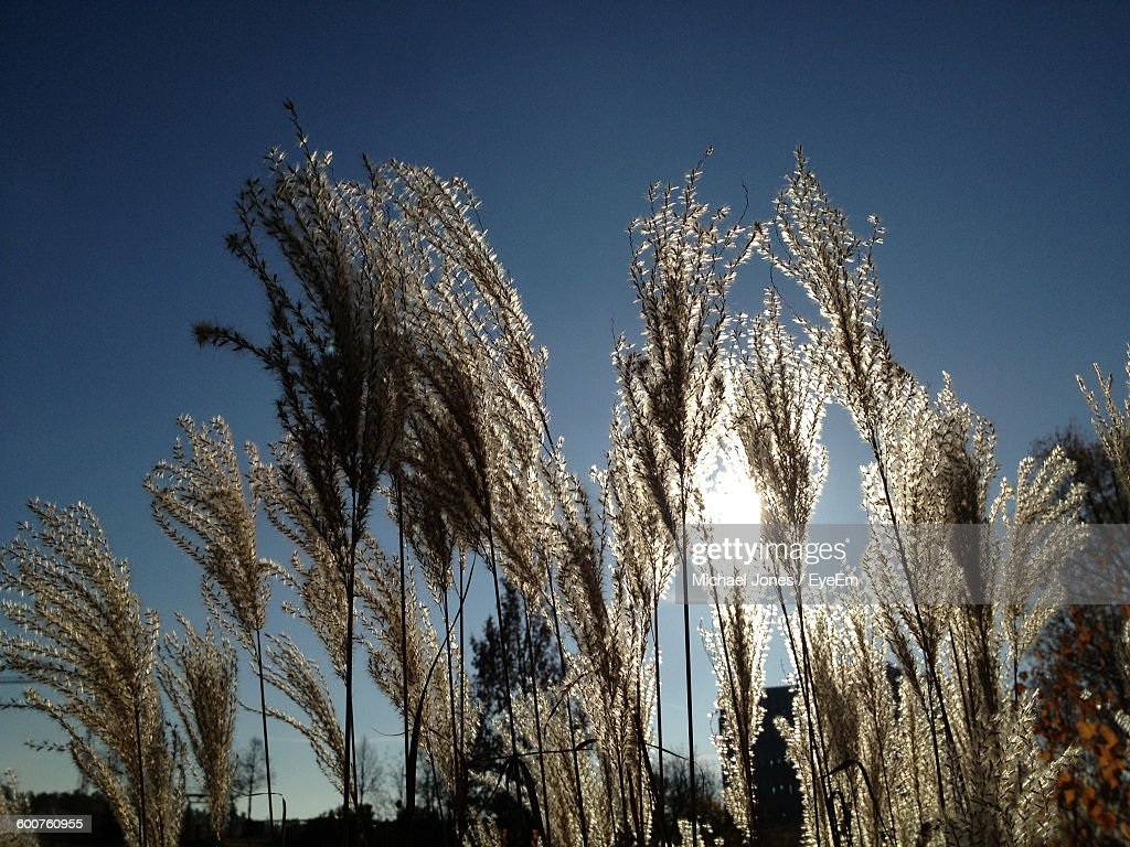 Low Angle View Of Grass Growing Against Clear Sky