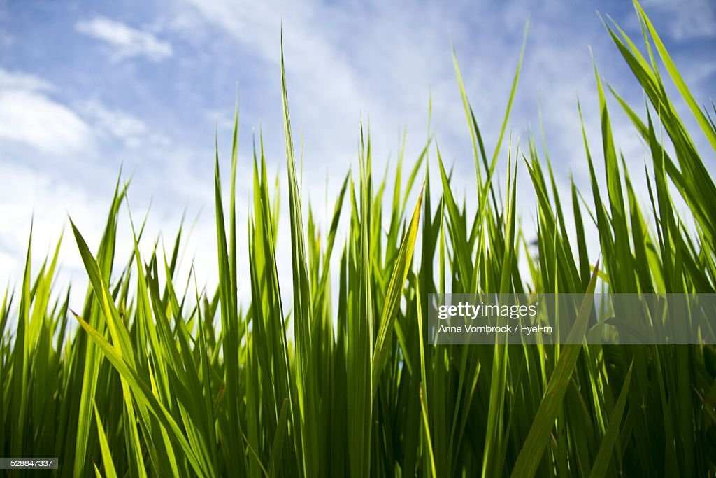 Low Angle View Of Grass Growing On Field Against Cloudy Sky