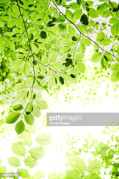 Low angle view of green leaves, Skanor, Skane, Sweden