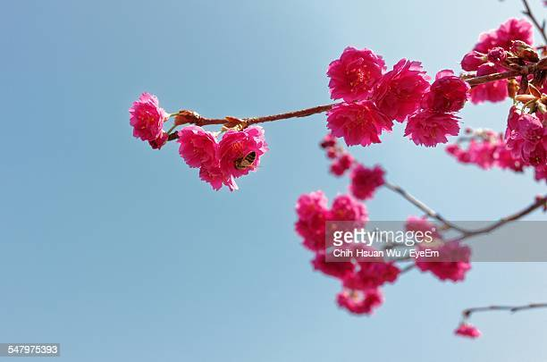 Low Angle View Of Honey Bee On Cherry Tree Against Clear Sky