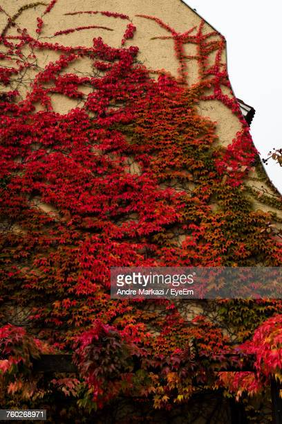 Low Angle View Of Ivy On Autumn Tree
