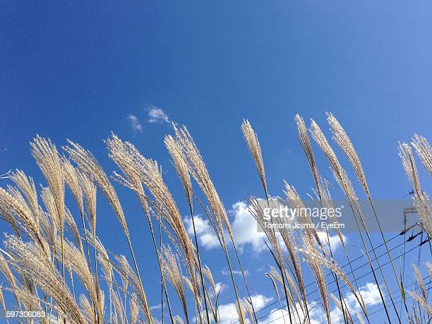 Low Angle View Of Japanese Silver Grass Growing Against Sky