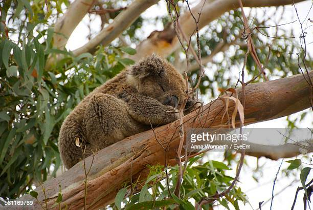 Low Angle View Of Koala Sleeping On Branch