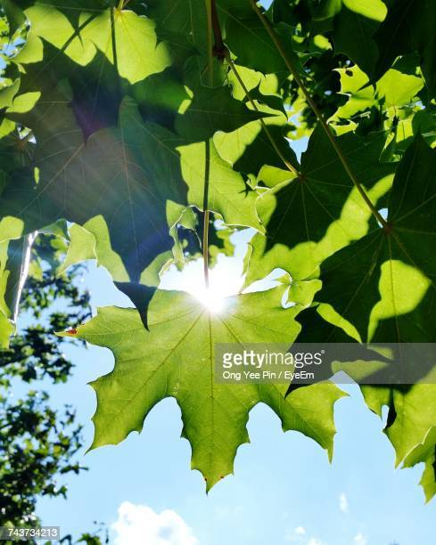 Low Angle View Of Leaves Against Bright Sun