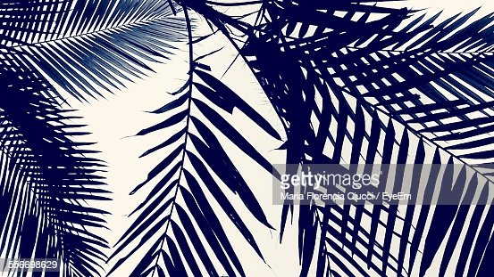 Low Angle View Of Leaves Of Palm Tree