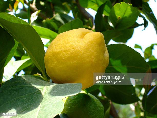 Low Angle View Of Lemon Growing On Tree