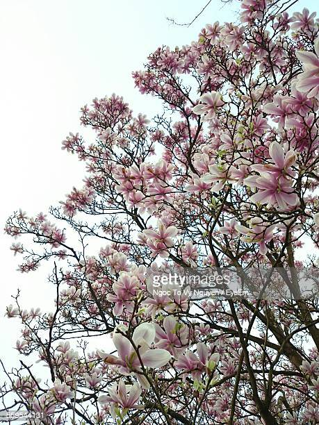Low Angle View Of Magnolia Blossoms Against Clear Sky