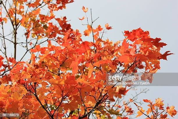 Low Angle View Of Maple Tree Branches Against Clear Sky