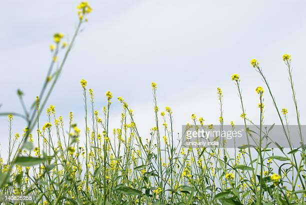 Low angle view of mustard plants, Sohna, Gurgaon, Haryana, India