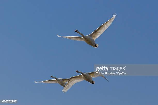 Low Angle View Of Mute Swans Flying Against Clear Blue Sky