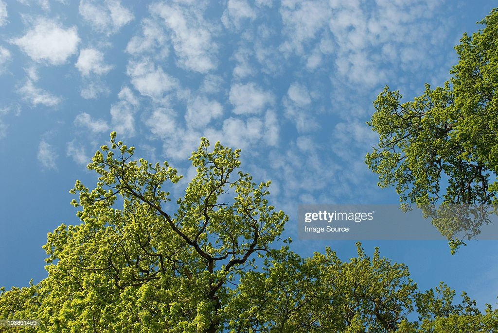 Low angle view of oak tree and sky : Stock Photo