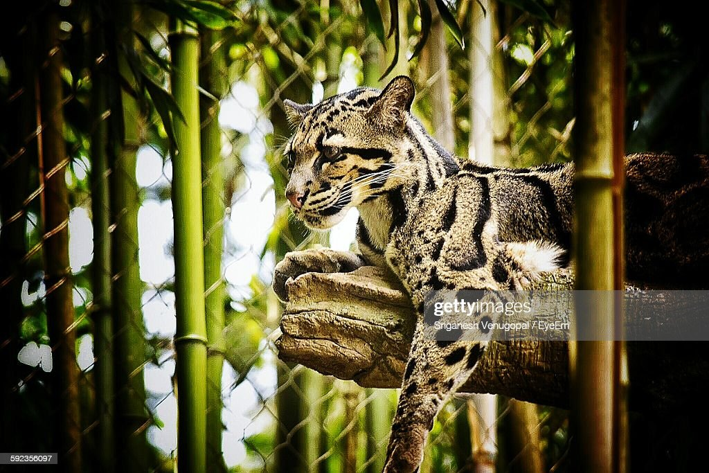 Low Angle View Of Ocelot Resting On Branch In Zoo