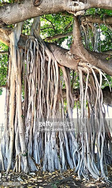 Low Angle View Of Old Banyan Tree In Forest