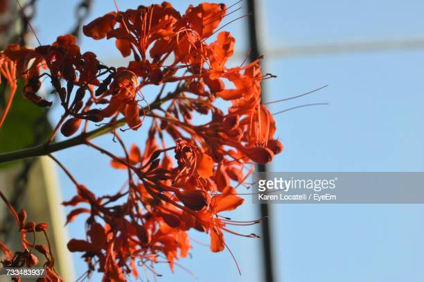 Low Angle View Of Orange Flowers Against Clear Sky