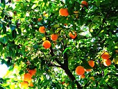 Low Angle View Of Oranges On Tree