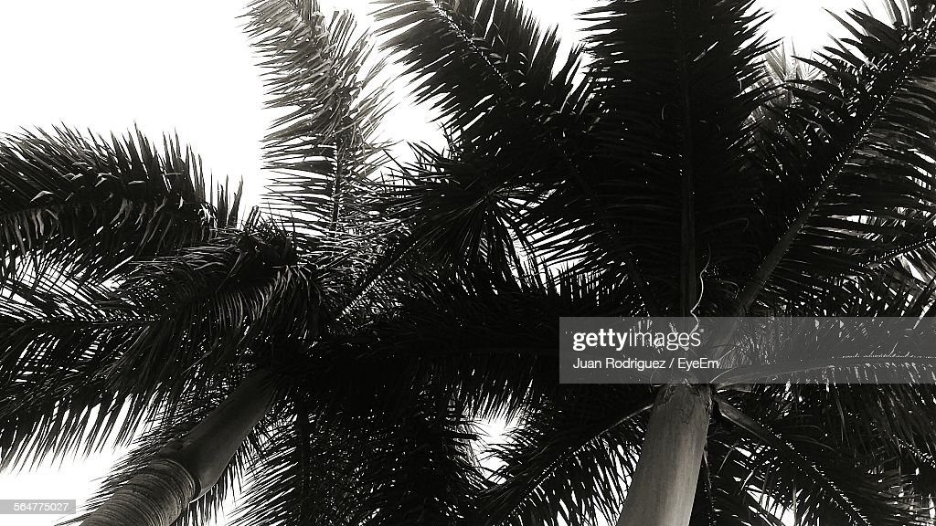 Low Angle View Of Palm Trees Against Sky : Photo