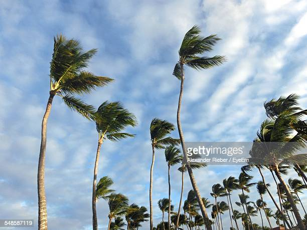 Low Angle View Of Palm Trees During Windy Weather