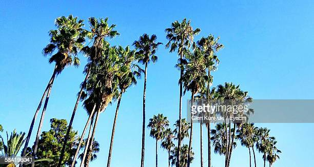Low Angle View Of Palm Trees Growing Against Clear Blue Sky