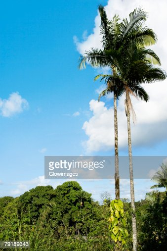Low angle view of palm trees, Hilo, Big Island, Hawaii Islands, USA : Stock Photo