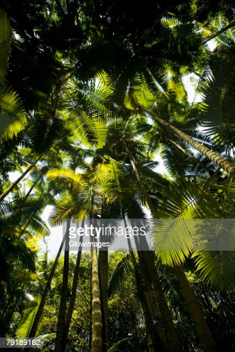 Low angle view of palm trees in a botanical garden, Hawaii Tropical Botanical Garden, Hilo, Big Island, Hawaii Islands, USA : Foto de stock