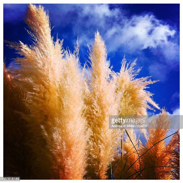Low Angle View Of Pampas Grass Growing Against Blue Sky