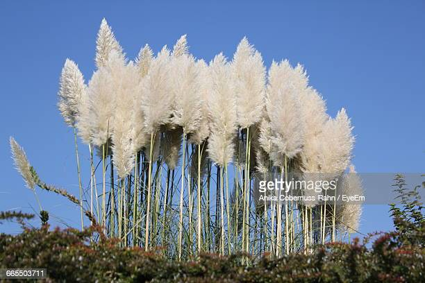 Low Angle View Of Pampas Grass Growing On Field Against Clear Sky