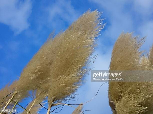 Low Angle View Of Pampas Plants Against Blue Sky
