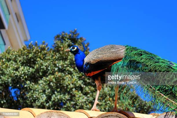Low Angle View Of Peacock