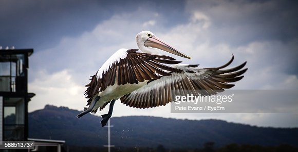Low Angle View Of Pelican Flying Against Sky