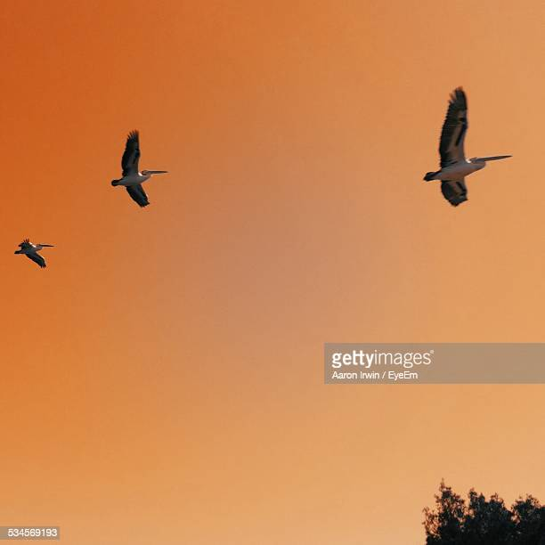 Low Angle View Of Pelicans Flying Against Clear Orange Sky