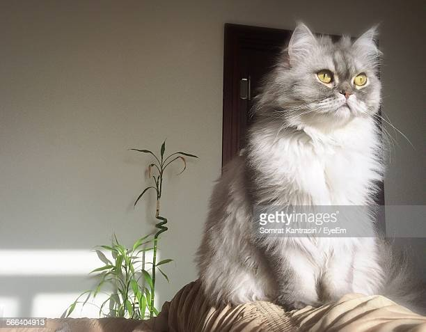 Low Angle View Of Persian Cat At Home