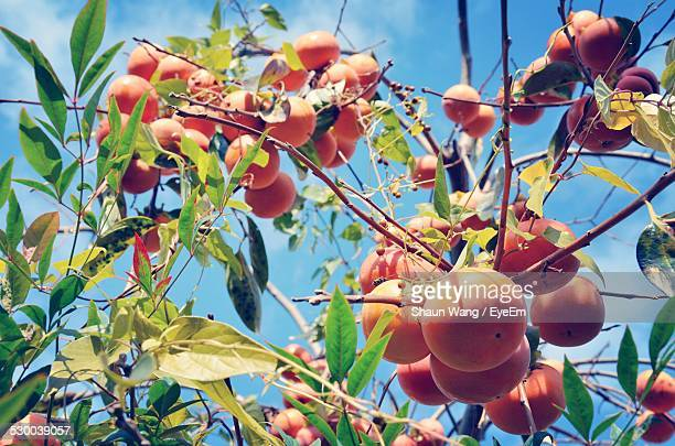 Low Angle View Of Persimmon Tree During Autumn