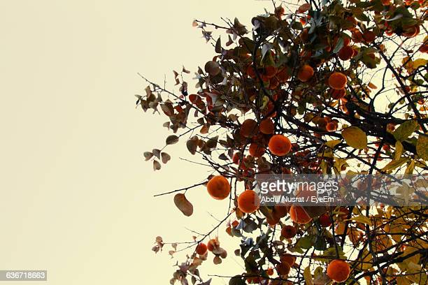 Low Angle View Of Persimmons On Tree Against Sky