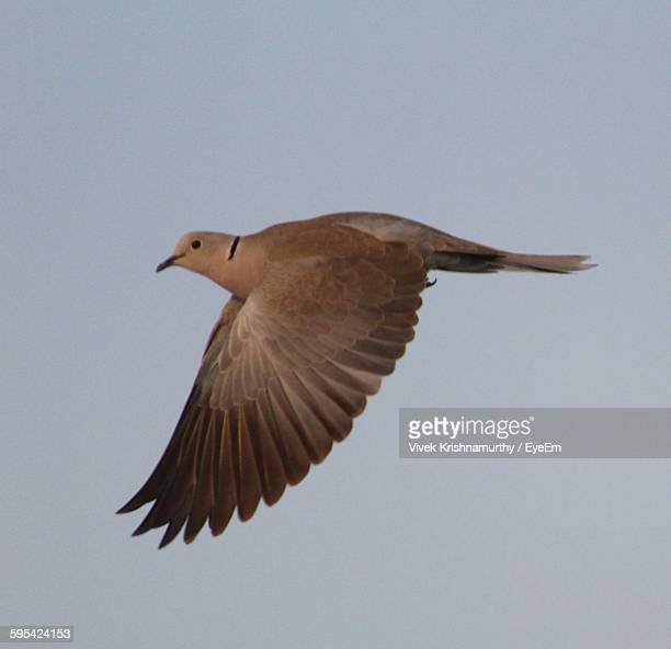 Low Angle View Of Pigeon Flying Against Clear Blue Sky