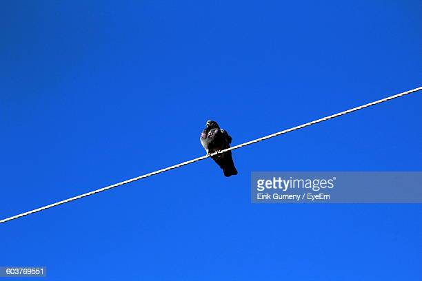 Low Angle View Of Pigeon Perching On Rope Against Clear Blue Sky