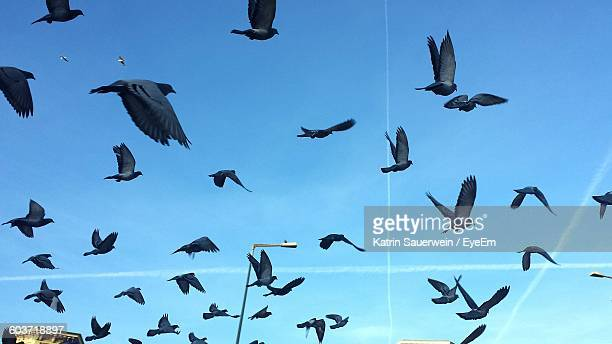 Low Angle View Of Pigeons Flying In Sky