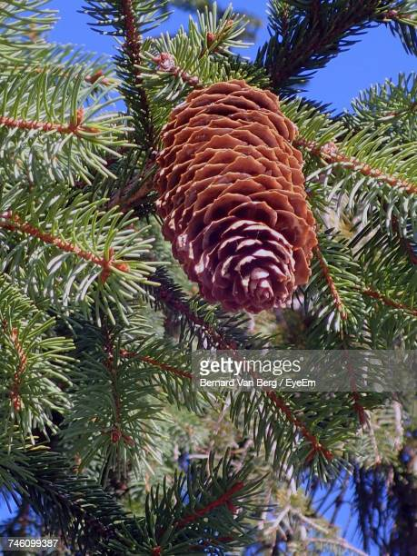 Low Angle View Of Pine Cone On Twig