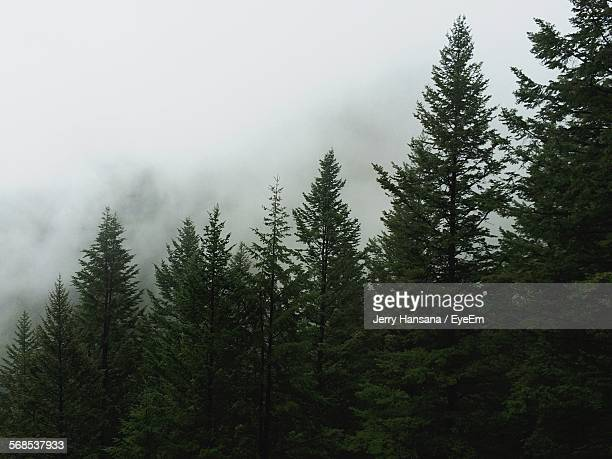 Low Angle View Of Pine Trees In Forest Against Cloudy Sky