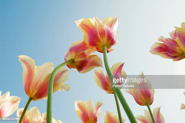 Low angle view of pink and yellow shaded tulips