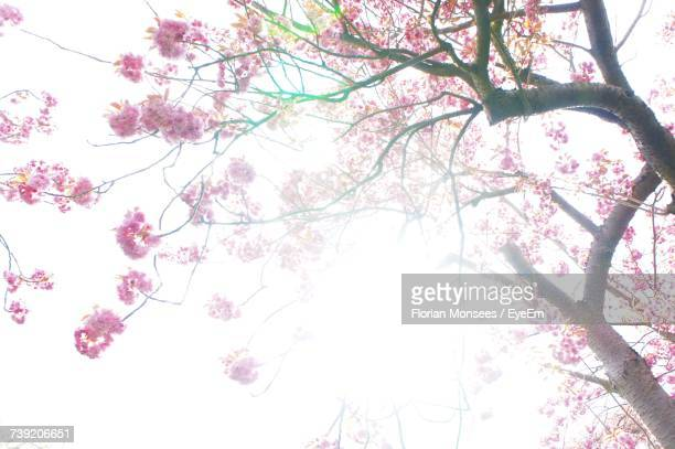 Low Angle View Of Pink Blossoms Against Sky