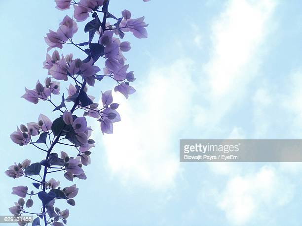 Low Angle View Of Pink Bougainvillea Against Sky