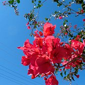 Low Angle View Of Pink Bougainvillea Blooming Against Clear Blue Sky