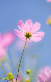 Low Angle View Of Pink Cosmos Blooming Outdoors