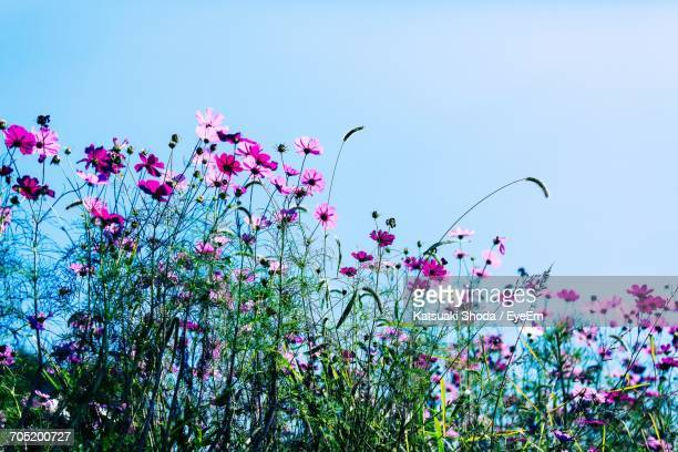 Low Angle View Of Pink Cosmos Flowers Growing On Field Against Sky