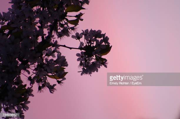 Low Angle View Of Pink Flower Tree Against Sky